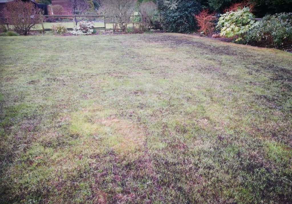 Lawn after applying ferrous sulphate showing the blackened dead moss