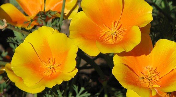 california-poppy-norfolk