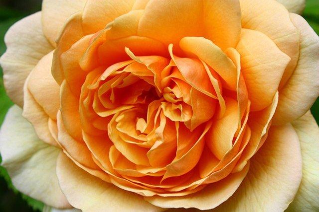 david-austin-rose