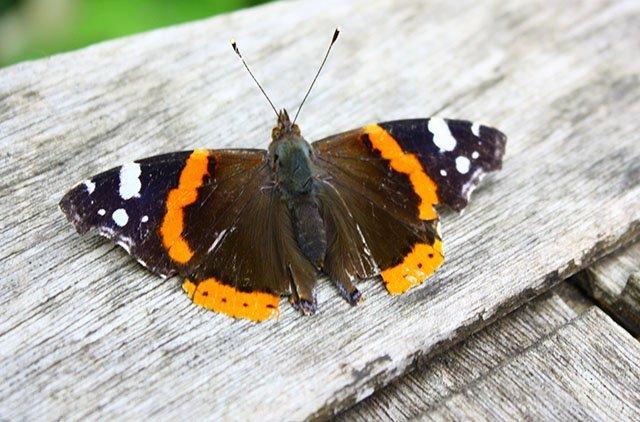 A Red Admiral butterfly often found in Norfolk gardens