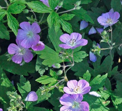 Hardy Geraniums blooming in March